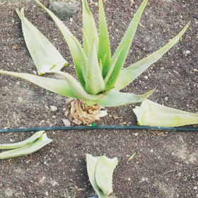 Factors of Quality aloe vera